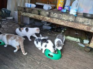 HOMES NEEDED FOR 5 SEMI-WILD CATS